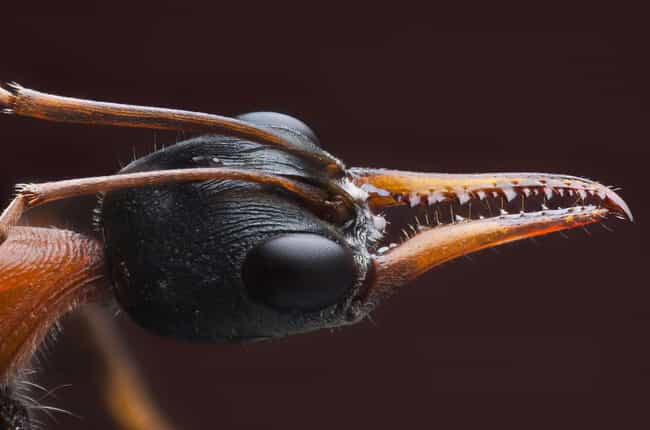 Myrmecia is listed (or ranked) 1 on the list 13 Creatures With The Most Horrifying Mandibles