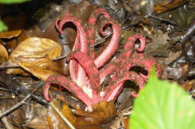 an octopus stinkhorn is not something youd want to find in your garden - Garden Animals