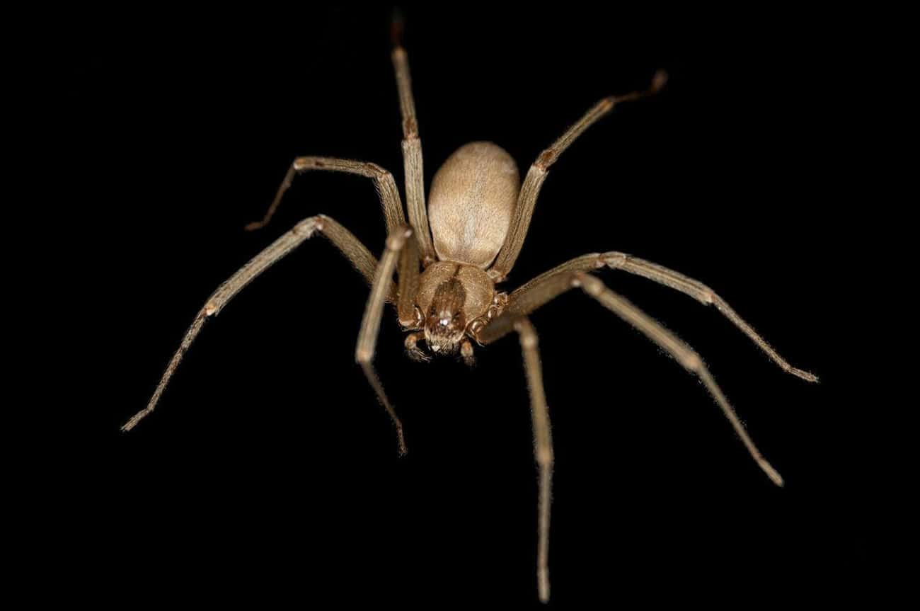 Brown Recluse Spider is listed (or ranked) 3 on the list The Scariest Types of Spiders in the World