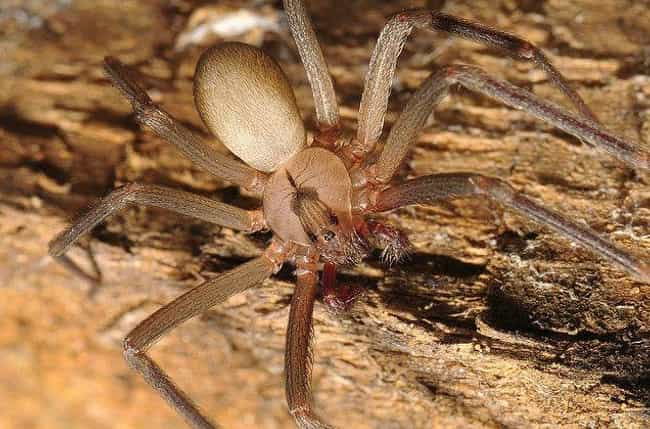 Brown recluse spider is listed (or ranked) 3 on the list Deadly Spiders, Ranked By How Deadly Their Venom Is (Or Could Be)