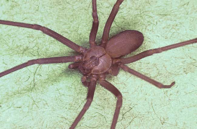 Brown recluse spider is listed (or ranked) 1 on the list The Scariest Types of Spiders in the World