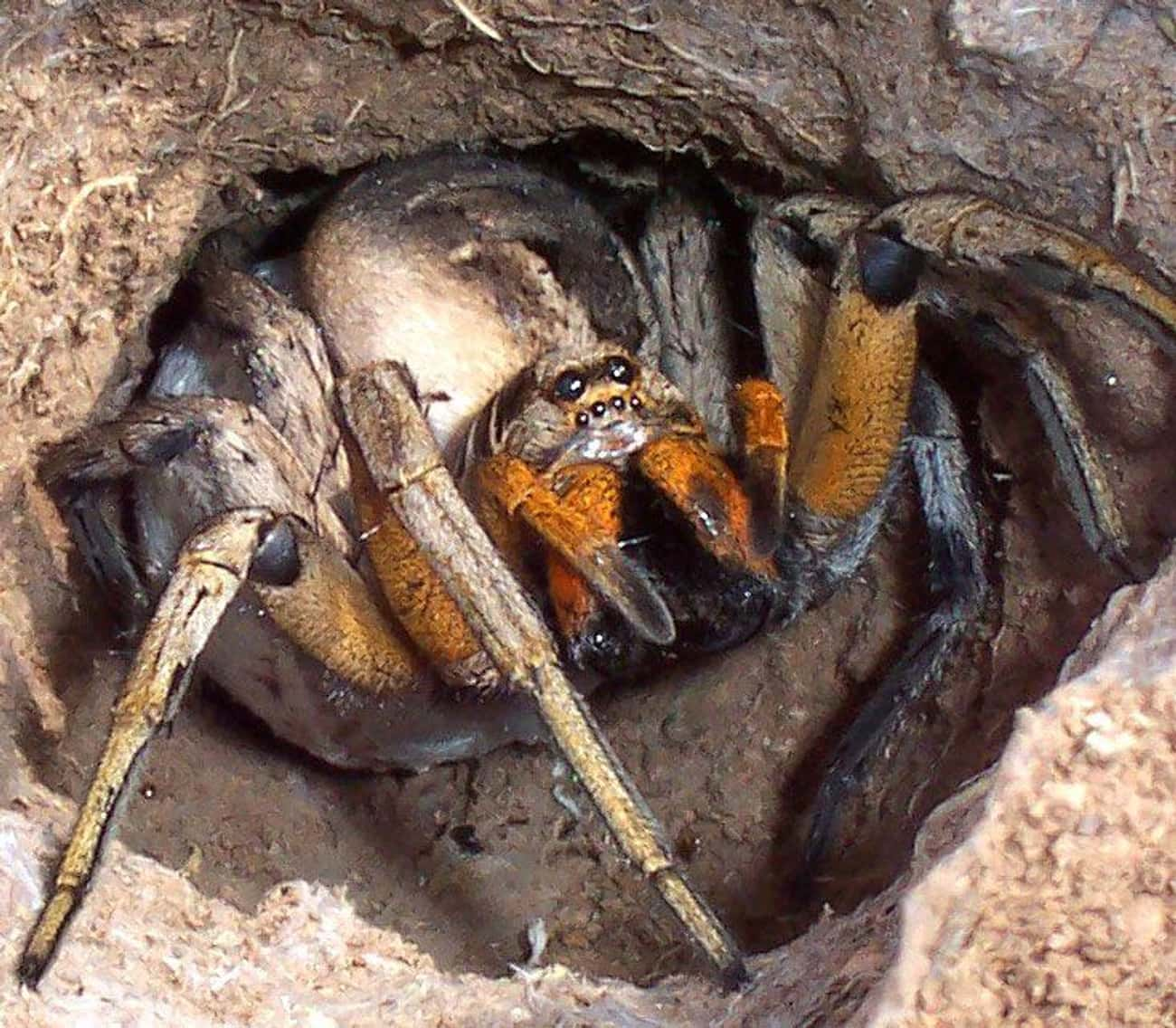 Wolf Spider is listed (or ranked) 4 on the list The Scariest Types of Spiders in the World