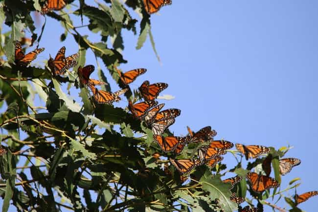 Monarch butterfly is listed (or ranked) 12 on the list 14 Of The Most Well-Traveled Creatures On The Planet