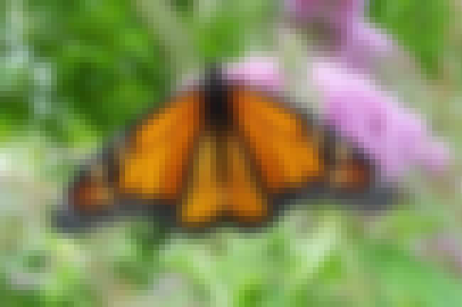 Monarch butterfly is listed (or ranked) 2 on the list The World's Most Beautiful Butterflies