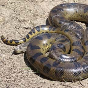 Green Anaconda is listed (or ranked) 22 on the list The Scariest Animals in the World