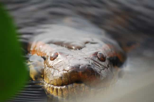 Green Anaconda is listed (or ranked) 3 on the list The 15 Most Terrifying Creatures Found In The Amazon River