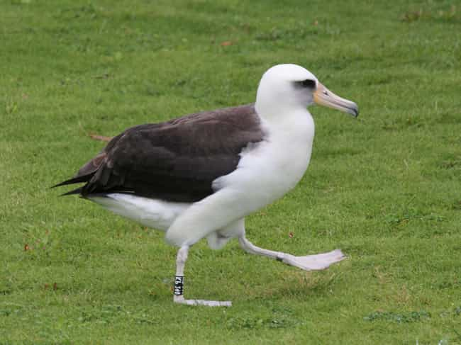 Laysan Albatross is listed (or ranked) 2 on the list Animals Who Have Same Sex Partners