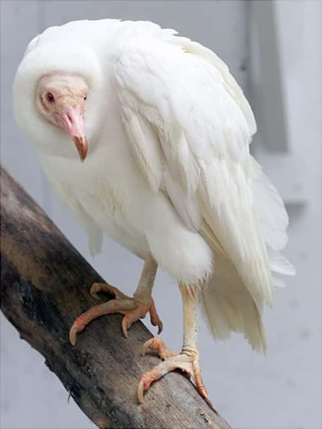 American Black Vulture is listed (or ranked) 38 on the list 38 Incredible Albino (and Leucistic) Animals