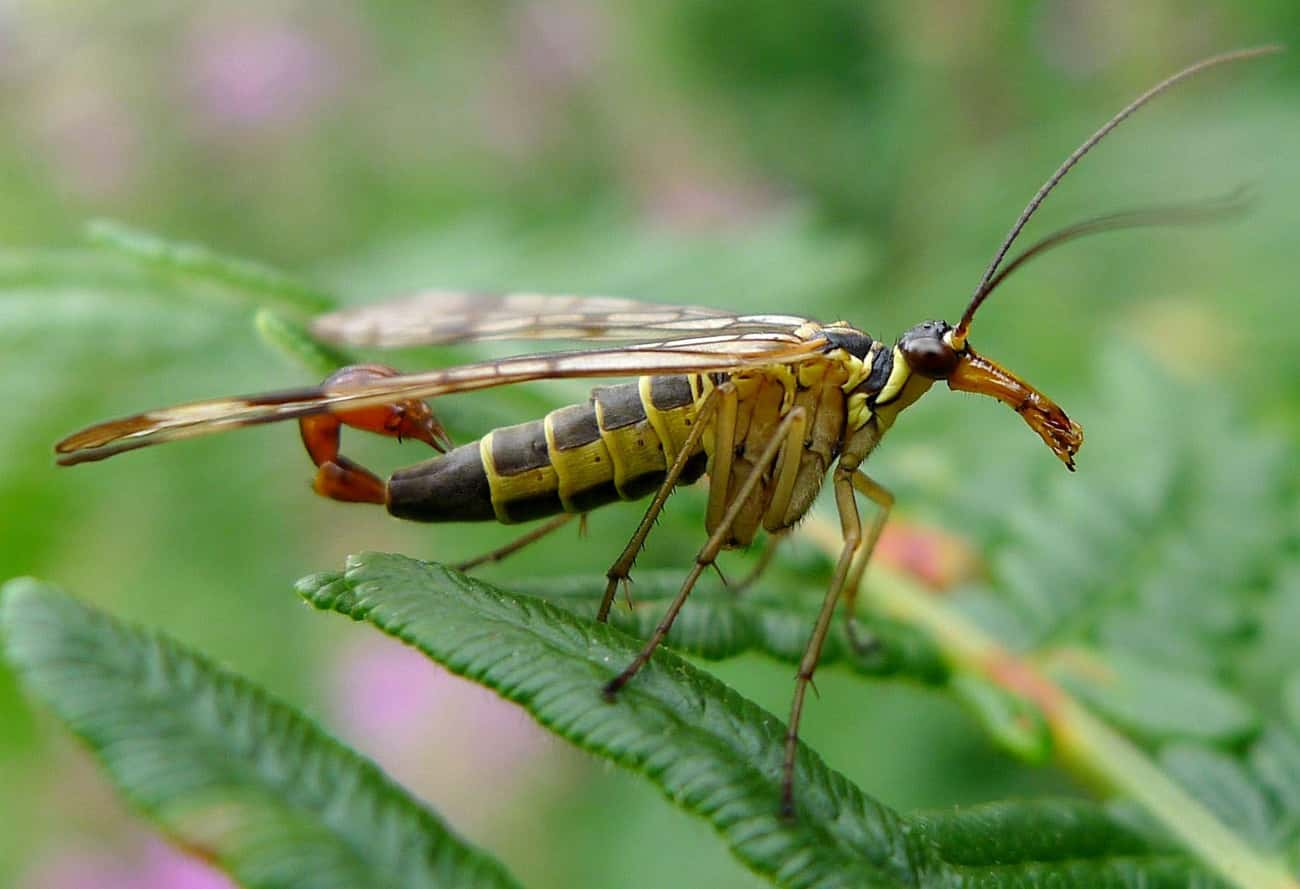 Scorpionfly is listed (or ranked) 3 on the list Rare Animals That Look Fake But Are In Fact 100% Real