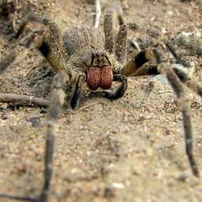 Brazilian Wandering Spider is listed (or ranked) 4 on the list The Scariest Animals in the World
