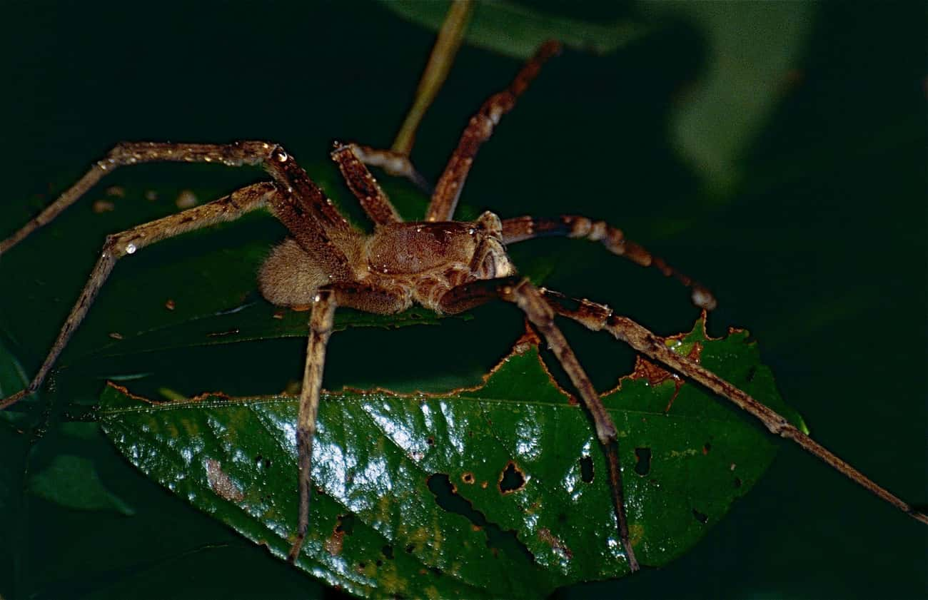 Brazilian Wandering Spider is listed (or ranked) 2 on the list The Scariest Types of Spiders in the World