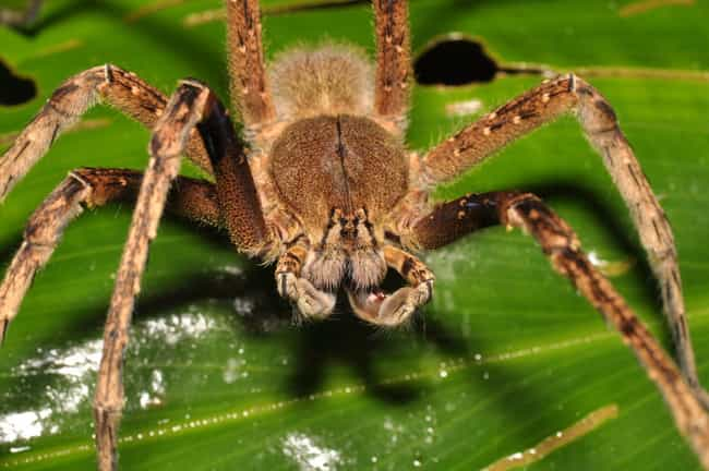 Brazilian wandering spid... is listed (or ranked) 2 on the list Deadly Spiders, Ranked By How Deadly Their Venom Is (Or Could Be)