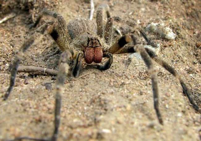Brazilian wandering spider is listed (or ranked) 3 on the list The Scariest Types of Spiders in the World
