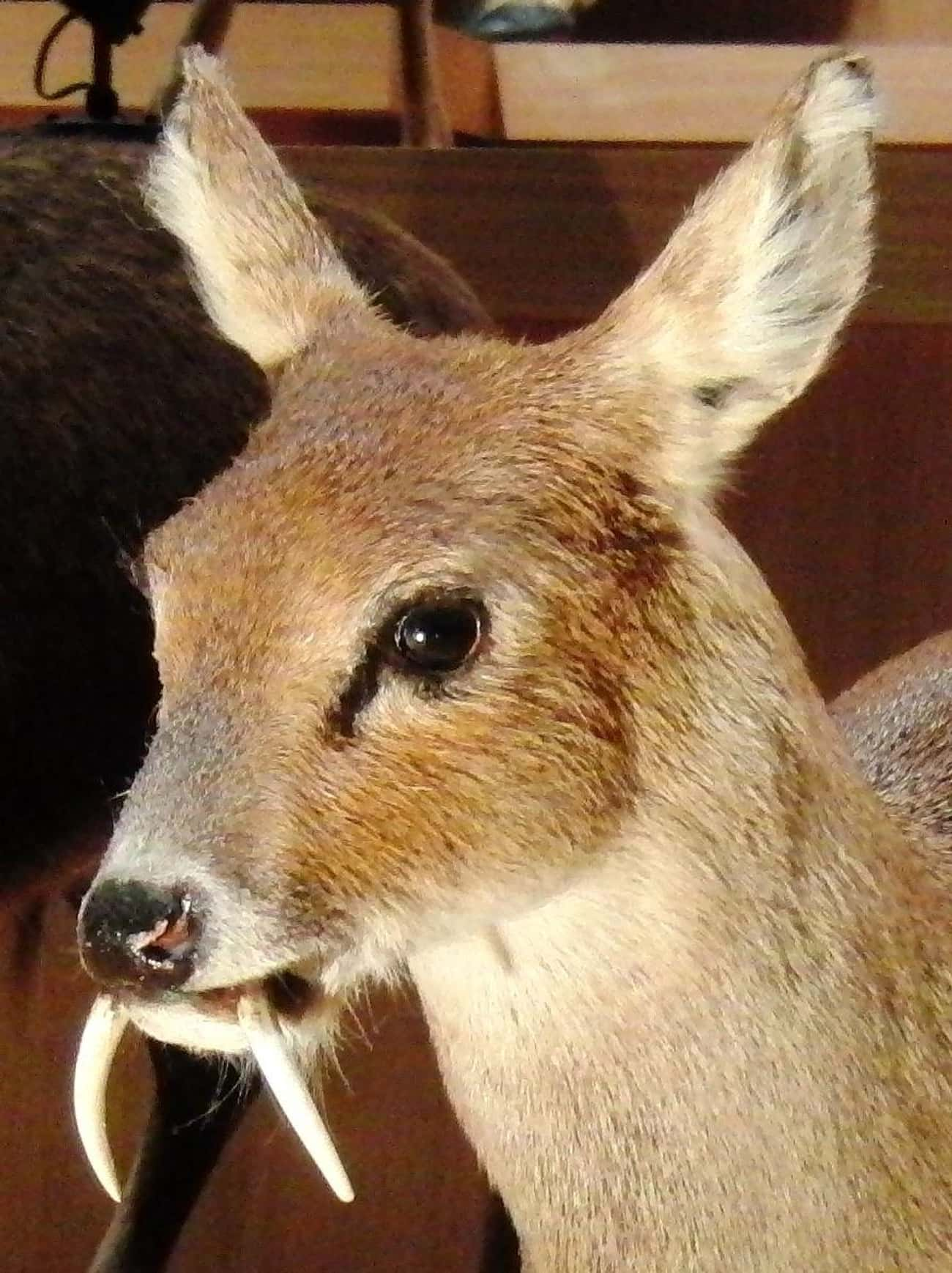 Chinese Water Deer is listed (or ranked) 2 on the list Rare Animals That Look Fake But Are In Fact 100% Real