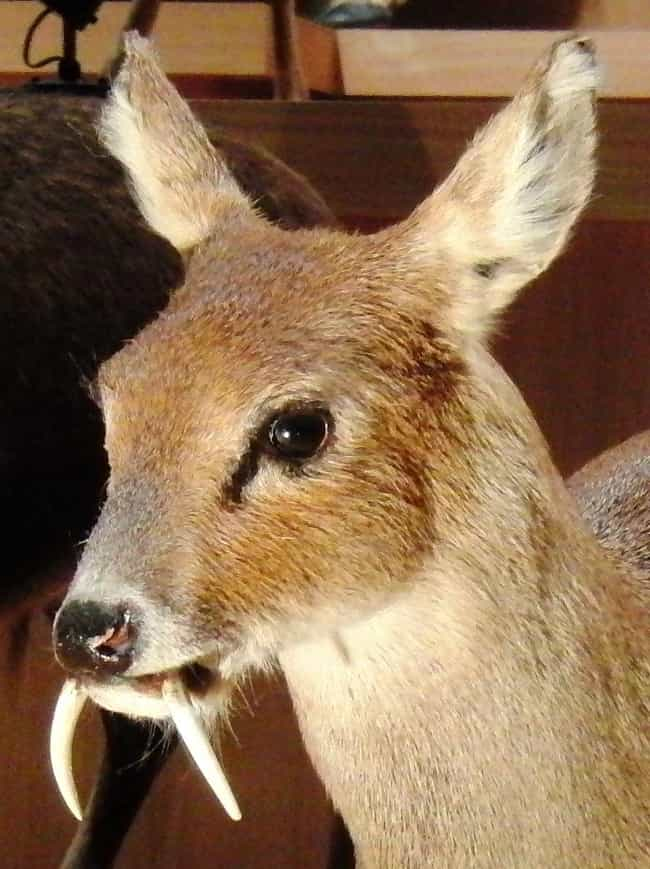 Water Deer is listed (or ranked) 2 on the list Rare Animals That Look Fake But Are In Fact 100% Real