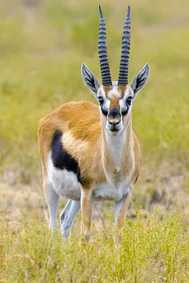 Thomson's Gazelle is listed (or ranked) 2 on the list The Fastest Animals in the World