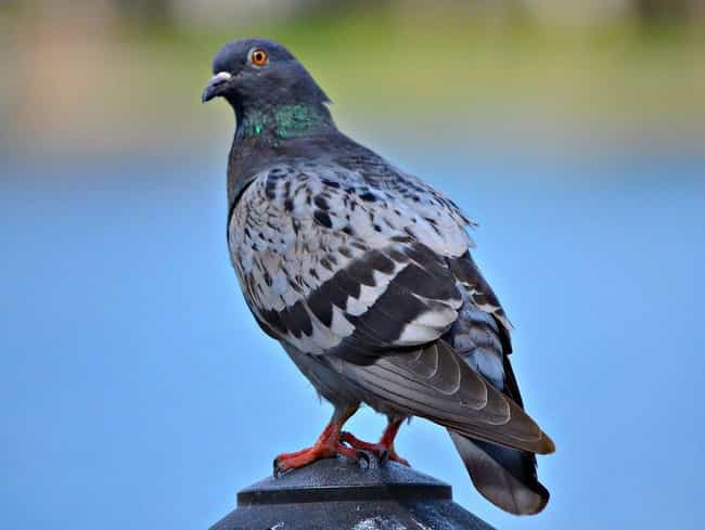 Plain Pigeon is listed (or ranked) 3 on the list 13 Crazy Ways Animals Have A Sixth Sense
