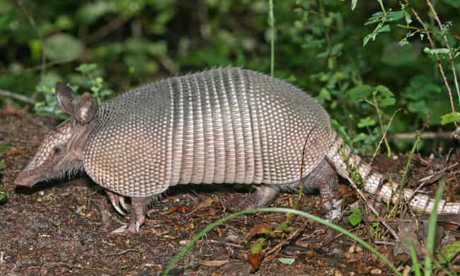 Nine-banded Armadillo is listed (or ranked) 4 on the list Animal Facts That Sound Fake, But Are 100% Legit