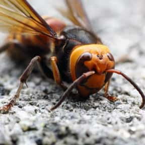 Japanese Giant Hornet is listed (or ranked) 10 on the list The Scariest Animals in the World