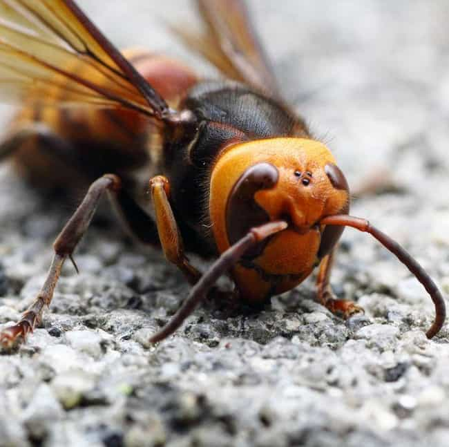 Japanese giant hornet is listed (or ranked) 3 on the list Creepy Insect Facts That Will Keep You Up At Night