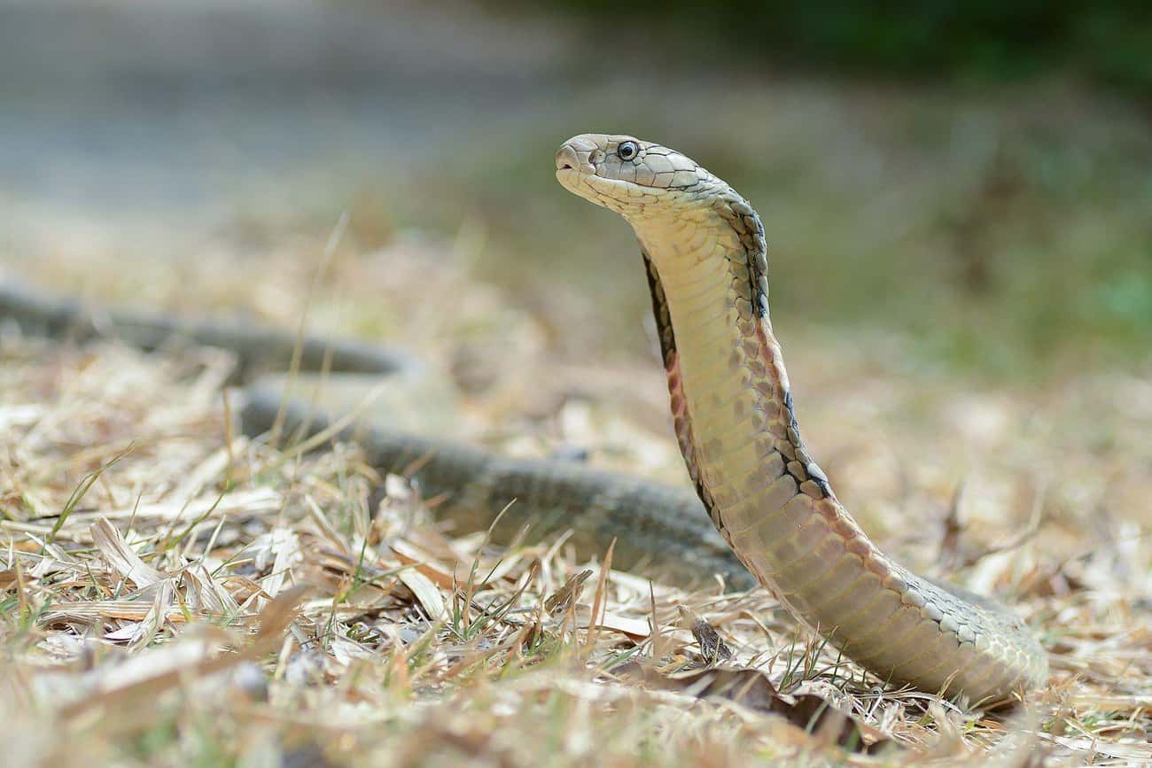 The King Cobra Is A Fearsome L is listed (or ranked) 4 on the list 11 Nightmare Creatures You Never Want To Encounter In India