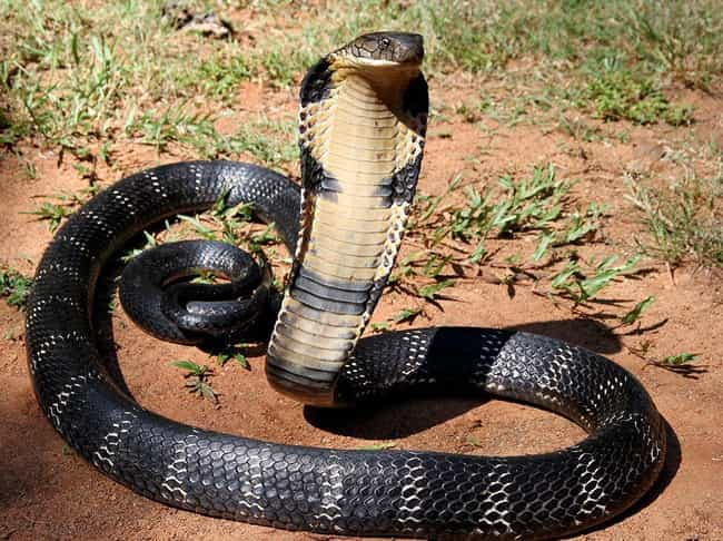King Cobra is listed (or ranked) 4 on the list The Scariest Types of Snakes in the World