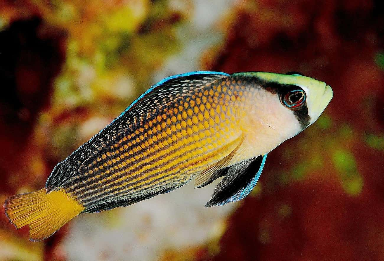 The Dottyback Reef Fish Shapes is listed (or ranked) 4 on the list 19 Crazy Awesome Sea Creatures That Can Change Their Shape, Color, And Size