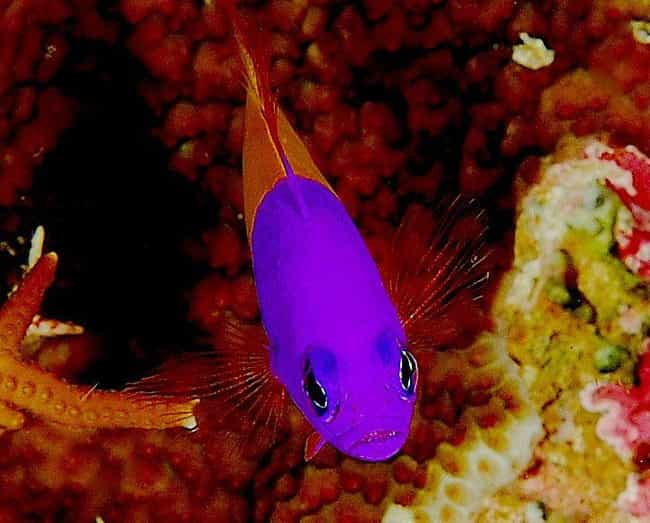 Dottyback is listed (or ranked) 3 on the list 19 Crazy Awesome Sea Creatures That Can Change Their Shape, Color, And Size