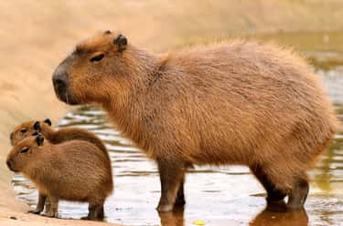 Capybara is listed (or ranked) 2 on the list The Weirdest Animals You Can Legally Own In The US