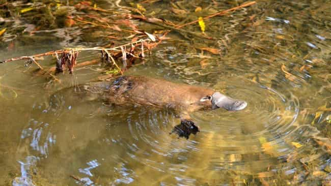 Platypus is listed (or ranked) 2 on the list 10 Incredible Animals That Scientists Initally Didn't Believe Were Real