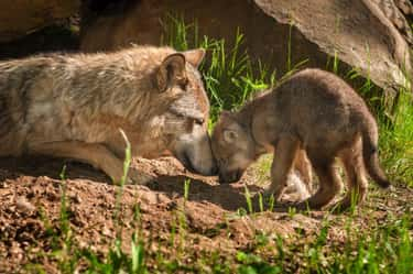 Gray Wolf and Pup is listed (or ranked) 6 on the list The Most Adorable Animal Parenting Moments