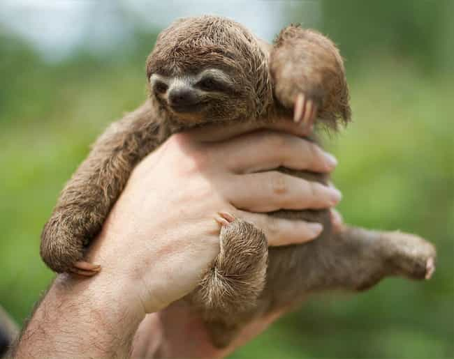 Three-toed sloth is listed (or ranked) 1 on the list The Cutest Pics of Gross-Looking Animals