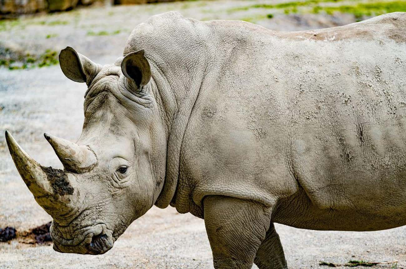 Southern White Rhinoceros is listed (or ranked) 3 on the list Animals That People Mistakenly Think Are Endangered - But Actually Aren't