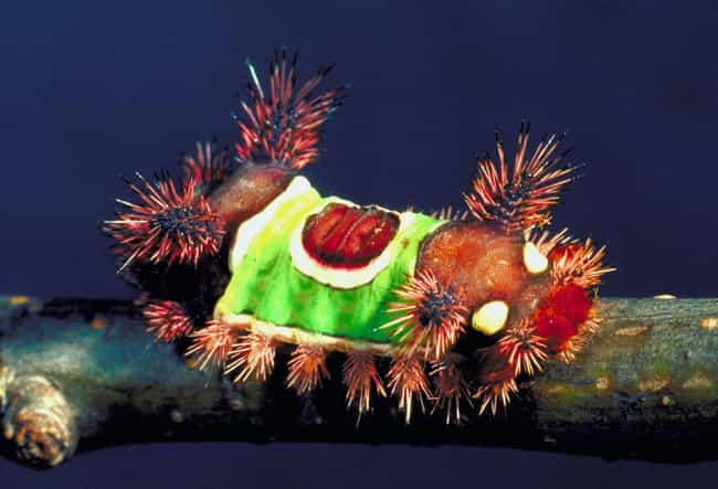 Saddleback caterpillar is listed (or ranked) 1 on the list Freakish Caterpillars That Prove They're The Weirdest Creatures You've Never Thought About