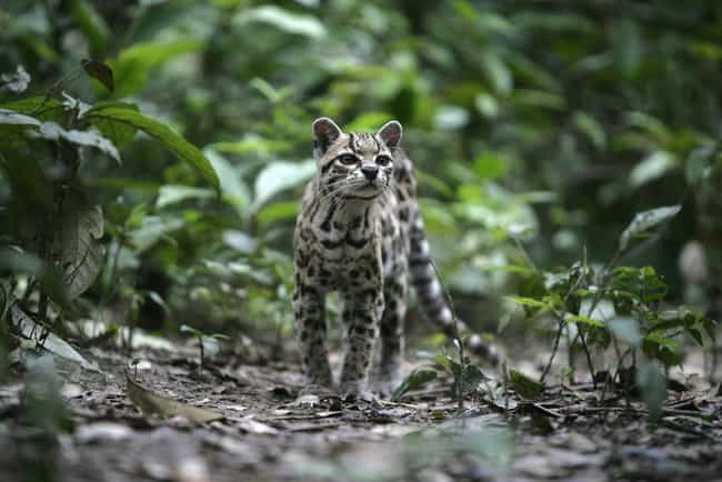 Margay is listed (or ranked) 1 on the list 14 Wild Dog And Cat Species That Are Amazingly Rare