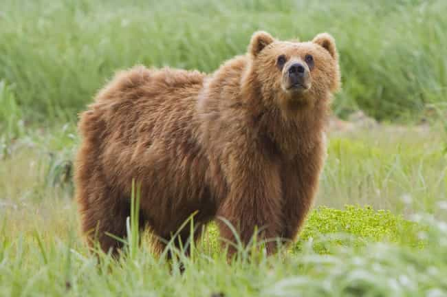 Kodiak Bear is listed (or ranked) 4 on the list The Scariest Types of Bears in the World