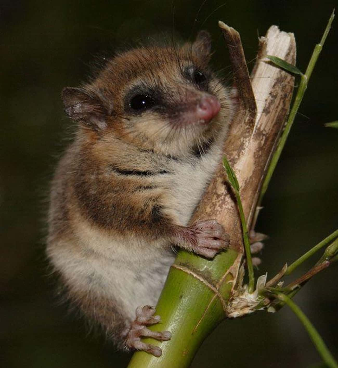 The Monito Del Monte Is The Cu is listed (or ranked) 2 on the list 14 Of The Cutest Marsupials Most People Have Never Heard Of