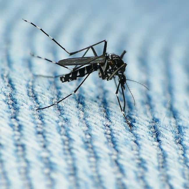 Asian tiger mosquito is listed (or ranked) 3 on the list The Most Damaging Invasive Species in the World