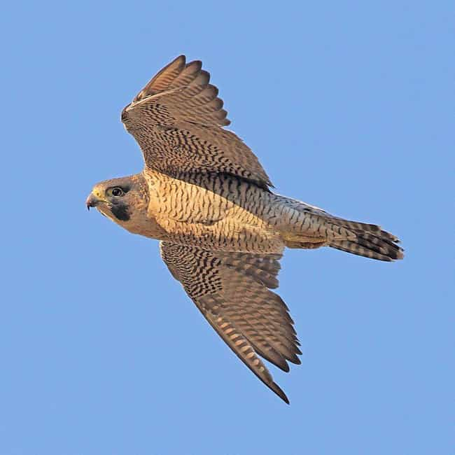 Peregrine Falcon is listed (or ranked) 3 on the list The Fastest Animals in the World