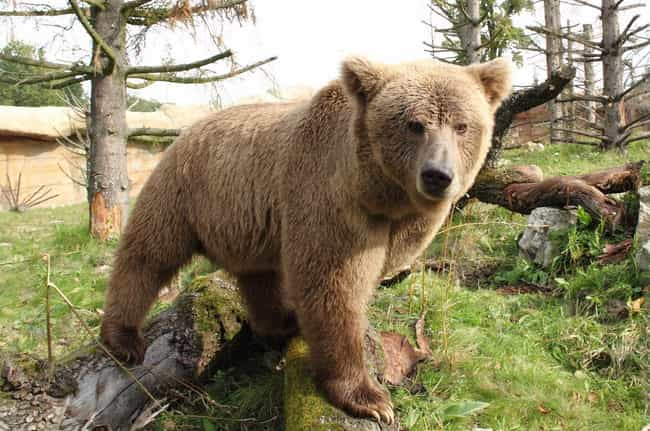 Himalayan Brown Bear is listed (or ranked) 5 on the list The Scariest Types of Bears in the World