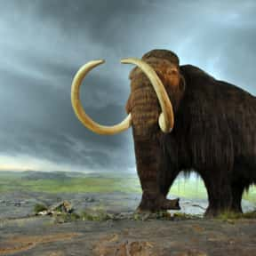Woolly Mammoth is listed (or ranked) 1 on the list Which Extinct Species Would You Bring Back From The Dead?