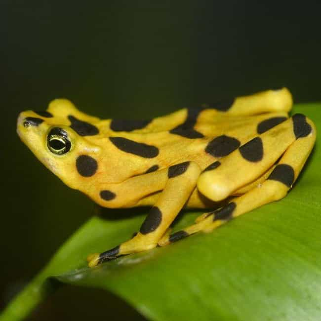 Panamanian golden toad ... is listed (or ranked) 4 on the list The Most Poisonous Frogs & Toads