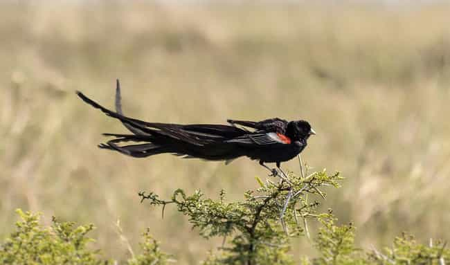 Long-tailed Widowbird is listed (or ranked) 3 on the list Wonderful Animals With The Longest Tails In The World