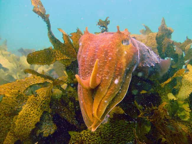 Australian Giant Cuttlefish is listed (or ranked) 4 on the list 10 Animals That Manipulate Their Partners Into Mating with Them