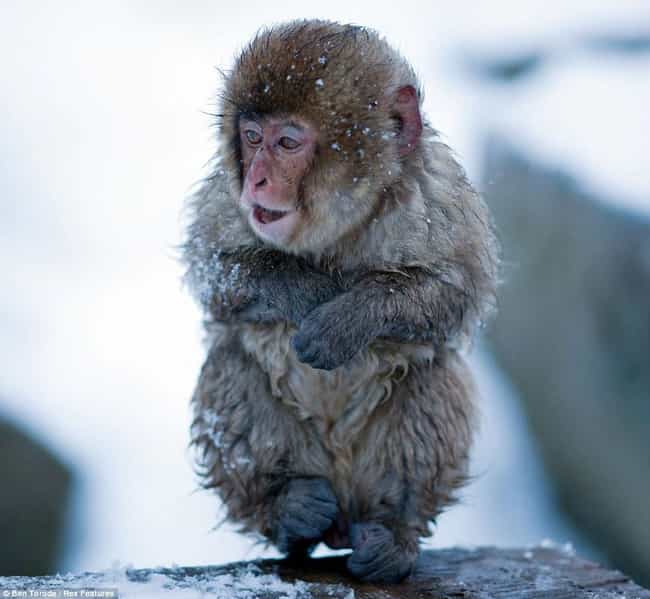 Japanese Macaque is listed (or ranked) 4 on the list The Cutest Pics of Gross-Looking Animals