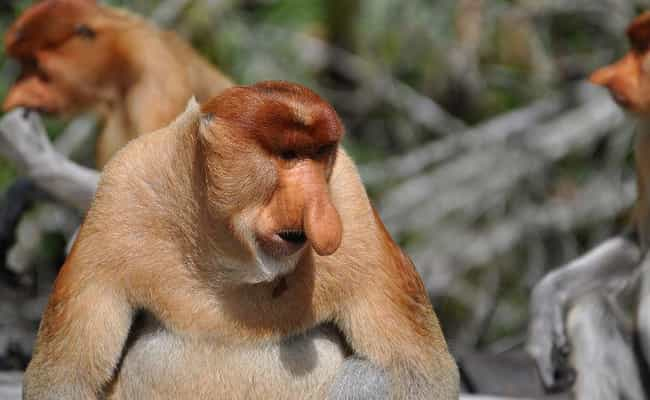 Proboscis Monkey is listed (or ranked) 1 on the list 13 Of The Strangest-Looking Primates In Nature