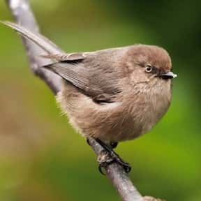 Bushtit is listed (or ranked) 4 on the list The Funniest Bird Names to Say Out Loud