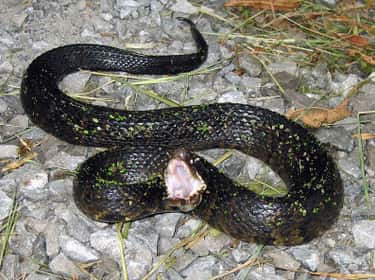 Western Cottonmouth Snakes Is One Of The Most Lethal Animals In North America