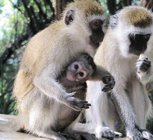 Vervet Monkey is listed (or ranked) 8 on the list 13 Wild Animals That Cause Serious Problems In Florida