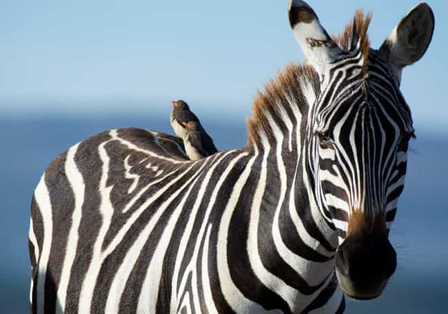 Plains Zebra is listed (or ranked) 14 on the list 14 Of The Most Well-Traveled Creatures On The Planet